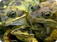 3head_frog1.jpg