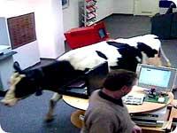 cow_inthe_bank.jpg