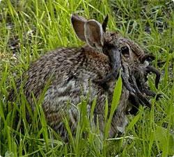 jackalope_rabbit2.jpg
