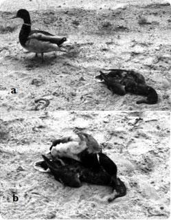 necrophilia_duck.jpg