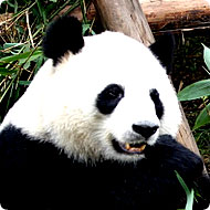 http://x51.org/x/images2005/panda_base.jpg