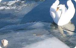 swan_hand1.jpg