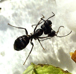 three_headed_ant4.jpg